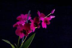 Dendrobium púrpura Fotos de archivo