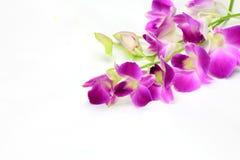 Dendrobium phalaenopsis Royalty Free Stock Image