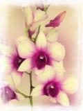 Dendrobium phalaenopsis Royalty Free Stock Images