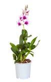 Dendrobium phalaenopsis hybrid orchid Stock Photography