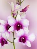 Dendrobium phalaenopsis hybrid orchid Stock Photos
