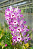 Dendrobium pink orchid Royalty Free Stock Photos