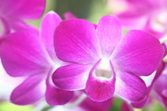 Dendrobium. Pink dendrobium orchid in full bloom Stock Photo