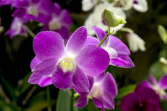 Dendrobium Pink Orchids Royalty Free Stock Photography