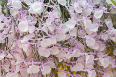Dendrobium pirmulinum Orchid. Beautiful Dendrobium pirmulinum in Thailand,Close up of beautiful orchid.,Dendrobium pirmulinum Lindl Royalty Free Stock Images