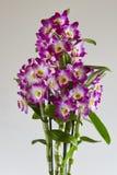 Dendrobium Royalty Free Stock Image