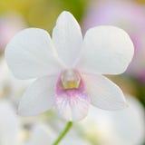 Dendrobium pompadour Stock Image