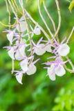 Dendrobium primulinum. Royalty Free Stock Images