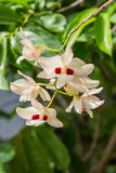 Dendrobium pulchellum, ,orchid flower in bloom. Stock Photos