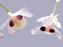 Dendrobium pulchellum Royalty Free Stock Photography