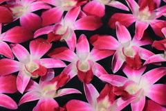 Dendrobium purple orchids Royalty Free Stock Photography