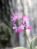 Dendrobium różowa orchidea Zdjęcia Stock