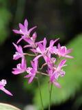 Dendrobium różowa orchidea Obraz Stock