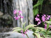Dendrobium różowa orchidea Zdjęcia Royalty Free