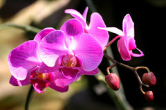 Dendrobium Sonia Royalty Free Stock Photo
