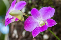 Dendrobium Sonia Orchid Royalty Free Stock Photo
