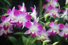 Dendrobium Sonia Orchid. Pink dendrobium Sonia orchid in full bloom Stock Photo