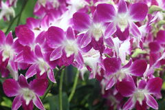 Dendrobium Sonia orchid Royalty Free Stock Image