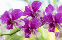Dendrobium sonia orchid. Purple orchid in a garden Stock Images