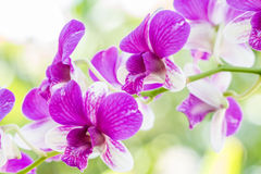 Dendrobium sonia orchid. Purple orchid in a garden Stock Photo