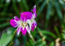 Dendrobium sonia orchid Stock Photo