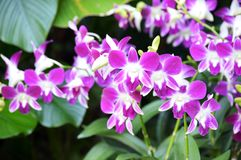 Dendrobium Sonia Orchids Royalty Free Stock Photo