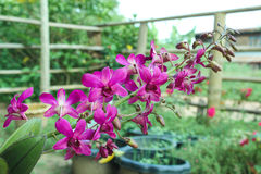 Dendrobium sonia, purple orchid. In a garden royalty free stock photos