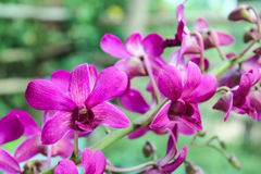 Dendrobium sonia, purple orchid. In a garden royalty free stock image