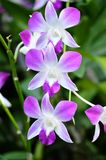 Dendrobium Sonia Royalty Free Stock Images