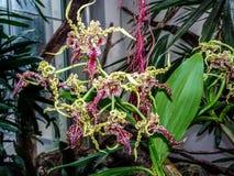 Dendrobium spectabile - l'orchidea straniera fotografie stock