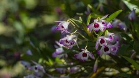 Dendrobium storczykowego ` cukierku Słodki ` zdjęcie stock