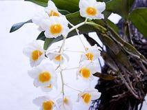 Dendrobium thyrsiflorum Stock Photo