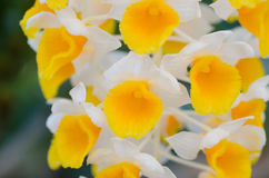 Dendrobium thyrsiflorum Royalty Free Stock Photo