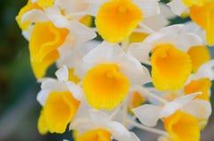 Dendrobium thyrsiflorum. Close up of Dendrobium thyrsiflorum orchid Royalty Free Stock Photo