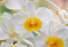 Dendrobium thyrsiflorum Royalty Free Stock Photos