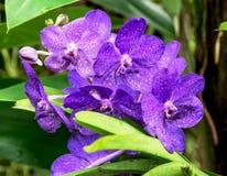 Dendrobium Two-humped (bigibbum do Dendrobium) Fotos de Stock