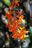 Dendrobium unicum Seidenf Royalty Free Stock Photo