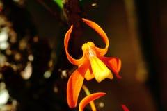 Dendrobium unicum Seidenf Stock Images