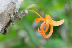 Dendrobium unicum Royalty Free Stock Photos