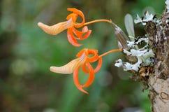 Dendrobium unicum Stock Image