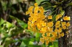 Dendrobium van Lindley is mooie bloem en heeft gele kleur Royalty-vrije Stock Afbeelding