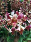Dendrobium Zhou Xun anche conosciuto comunemente come i nuovi fiori di Jinny Kirkwo Orchid del Dendrobium di orizzonte x del Dend fotografie stock