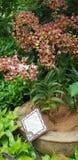 Dendrobium Zhou Xun anche conosciuto comunemente come i nuovi fiori di Jinny Kirkwo Orchid del Dendrobium di orizzonte x del Dend fotografia stock