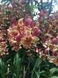 Dendrobium Zhou Xun anche conosciuto comunemente come i nuovi fiori di Jinny Kirkwo Orchid del Dendrobium di orizzonte x del Dend fotografia stock libera da diritti