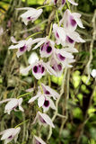 Dendrobiumanosmum in witte en purpere bloemen Stock Foto's