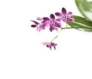 dendrobiumblommor isolerade vita orchids Royaltyfria Bilder