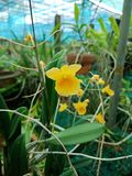 Dendrobiumchrysotoxum, populära orkidéord royaltyfria foton
