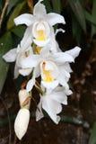 Dendrobiumdraconis Royaltyfria Bilder