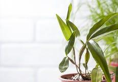 Dendrobiumfarmeri, bloemenachtergrond royalty-vrije stock foto