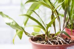 Dendrobiumfarmeri, bloemenachtergrond royalty-vrije stock afbeeldingen